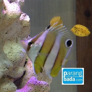 세동가리 -  brown banded butterflyfish